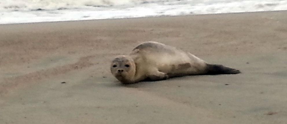 Robben & Seehunde auf Norderney